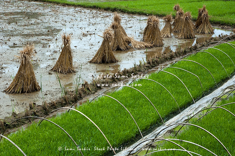 Rice paddy with straw bundles in the field, Yangshuo, Guangxi, China.