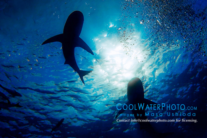 silhouette of Caribbean reef sharks, Carcharhinus perezi, West End, Bahamas, Atlantic Ocean