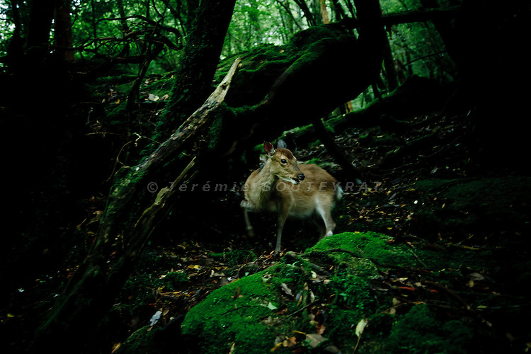 """Yakushima, June 2011 - A dear in """"Mononoke forest"""", which inspired Miyazaki for its anime movie """"Princess Mononoke""""..Miyazaki used a dear with a red face (like Yakushima's monkeys) as one of the main caracters of the movie."""