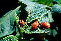COLORADO POTATO BEETLE ON POTATO LEAF<br /> Larvae Stage, Feeding On Potato Leaf<br /> Leptinotarsa Decemlineata. Olmstead, Colordado