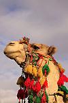 A camel in the Judean Desert