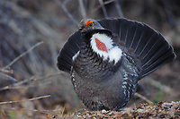 Dusky Grouse (Dendragapus obscurus) displaying in spring. Okanogan County, Washington. April.