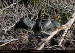 Anhinga Drying Wings American Darter Snakebird Sanibel Island Florida