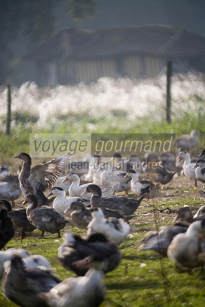 Europe/France/Aquitaine/40/Landes/Mauvezin-d'Armagnac: Elevage de canards