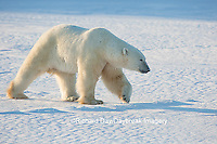 01874-13606 Polar Bear (Ursus maritimus)  Churchill Wildlife Management Area, Churchill, MB