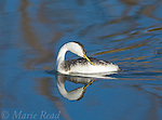 Western Grebe (Aechmophorus occidentalis), preening, with reflection, Bolsa Chica Ecological Reserve, California, USA