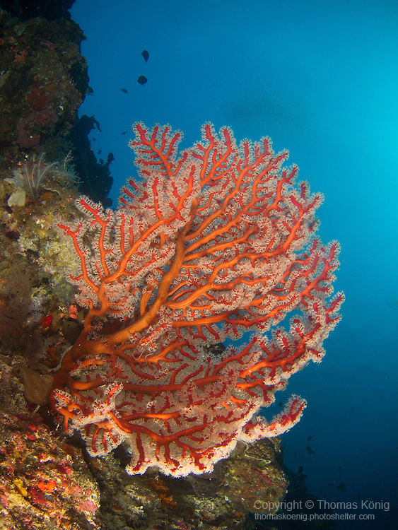 Apo Reef, Sulu Sea -- Large coral fan on a sea wall.