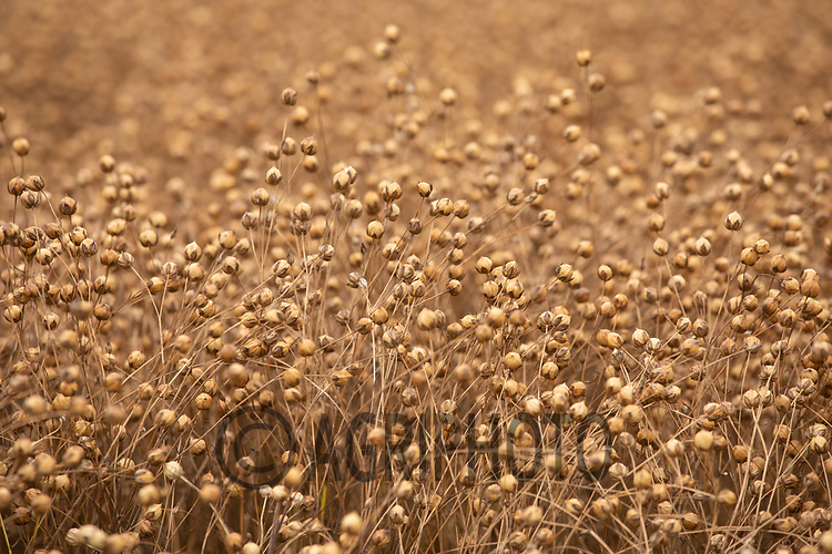 25.7.2020 Linseed ready for harvest<br /> ©Tim Scrivener Photographer 07850 303986<br />      ....Covering Agriculture In The UK.