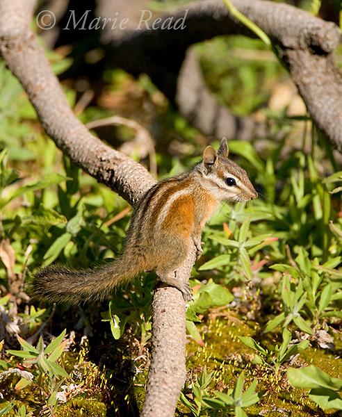 Lodegpole Chipmunk (Eutamias speciosus), Sequoia National  Forest, California, USA