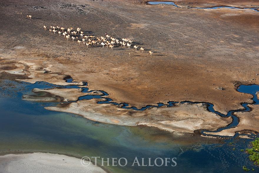 Kenya, Rift Valley, herd of camels walking to oasis in Chalbi Desert