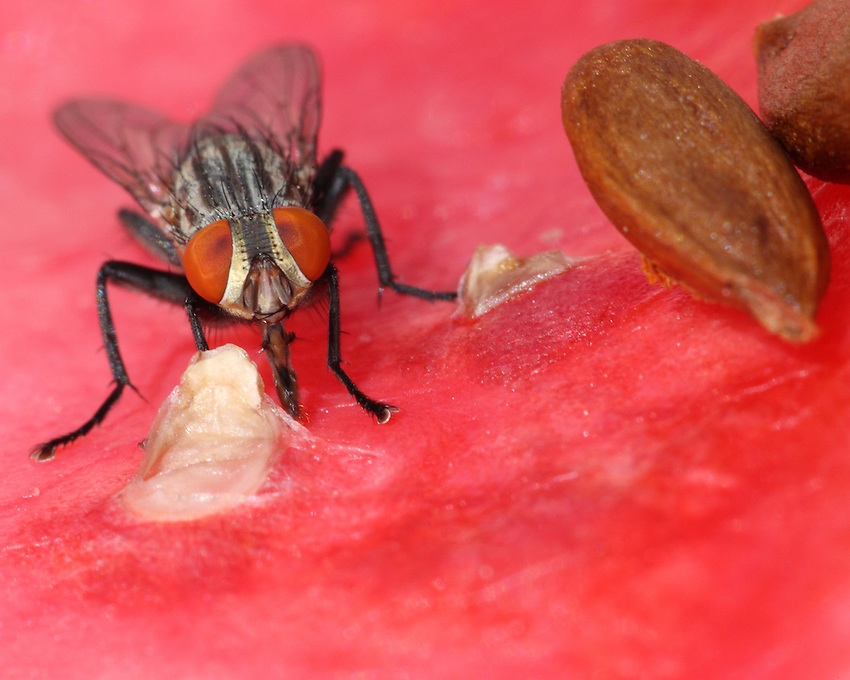 The house fly, Musca domestica Linnaeus, is a well-known cosmopolitan pest of both farm and home.