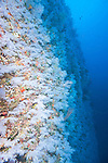 The Great White Wall, Rainbow Reef, Somosomo Strait, Fiji; looking up at the large expanse of white soft corals on the sheer wall face