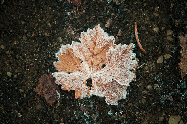 Grapevine leaf in winter