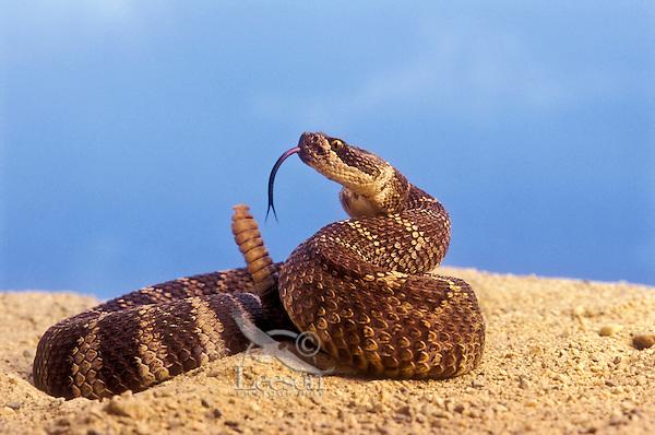Northern Pacific Rattlesnake (Crotalus viridis oreganus). British Columbia..