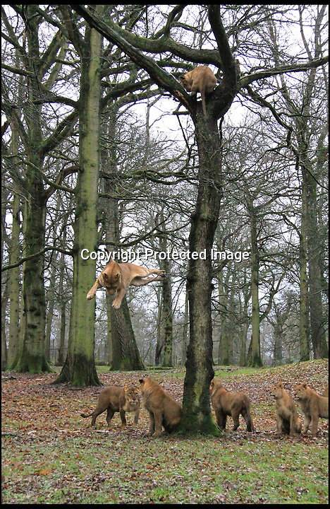 BNPS.co.uk (01202 558833)<br /> Pic: IanTurner/BNPS<br /> <br /> ***Please use full byline***<br /> <br /> A lion plummets towards the ground after launching itself from the top of a huge 30ft oak tree in a baffling never-seen-before stunt.<br /> <br /> The female lion first stunned keepers at Longleat Safari Park in Wiltshire by leading to other lions to the top of the tree, which is much bigger than they would normally climb.<br /> <br /> But they were left open mouthed when the enormous beast then jumped from its perch 30ft up as space at the top got a little scarce.<br /> <br /> Amazingly, the big cat landed on all fours just like domestic cats do when they fall.<br /> <br /> Two of the fearless lions jumped from the top of the tree - but the third was less brave and opted to climb down instead.<br /> <br /> The bizarre behaviour was caught on camera in the park's lion enclosure by keeper Ian Turner.