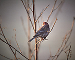 House Finch. Image taken with a Nikon D5 camera and 600 mm f/4 VR lens (ISO 560, 600 mm, f/4, 1/1250 sec).