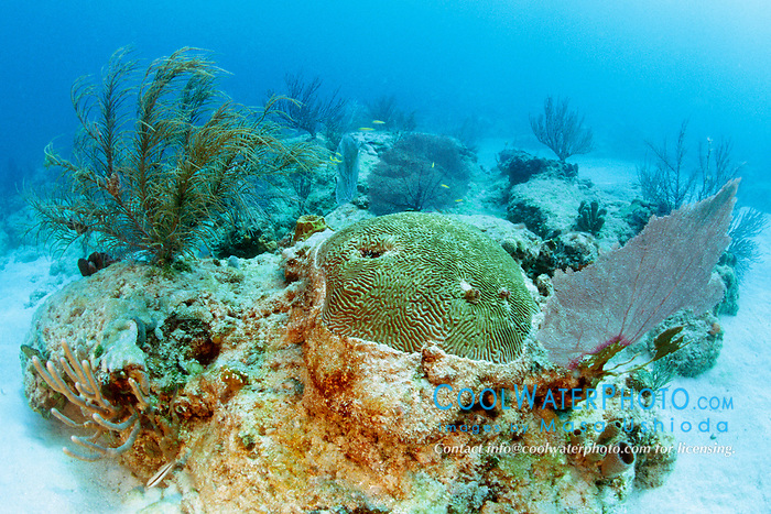 symmetrical brain coral, Diplora strigosa, .and gorgonians, Captain Keith's Reef, .Key Biscayne, Miami, Florida (Atlantic).
