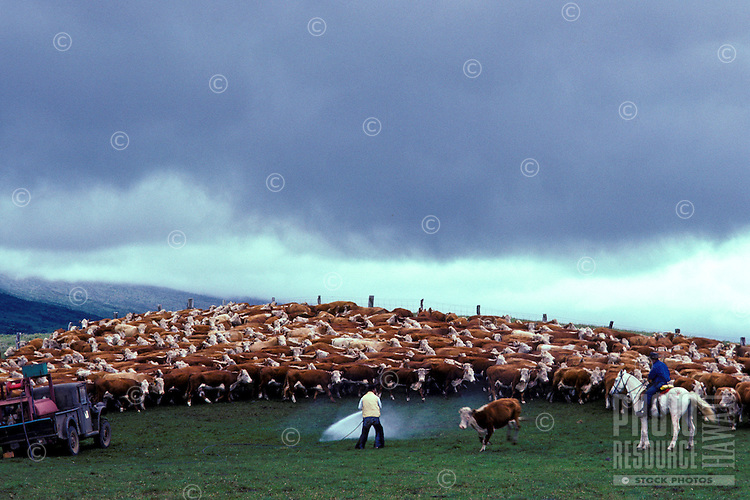 Paniolo (cowboys) with cattle herd, Parker Ranch, Waimea