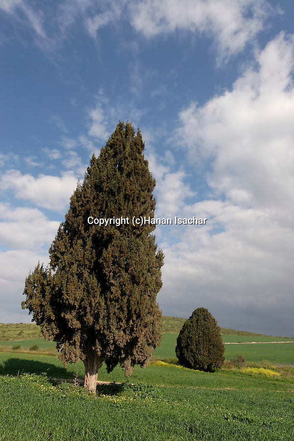 Israel, Cypress trees (Cupresus Sempervirens) in Menashe Heights