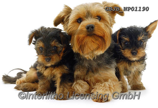 Kim, ANIMALS, REALISTISCHE TIERE, ANIMALES REALISTICOS, fondless, photos,+Yorkie and pups.,yorkie, and, pups, dogs, pets, animals, terriers, puppies, families, portraits, cute, adorable, lovely, lova+ble, white background+++,GBJBWP01190,#a#, EVERYDAY