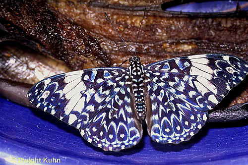 LE45-005z  Butterfly - Blue Cracker - Hamadryas amphinome