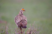 572110243 a wild lesser prairie chicken tympanuchus pallidicintus displays and struts on a lek on a remote ranch near canadian in the texas panhandle