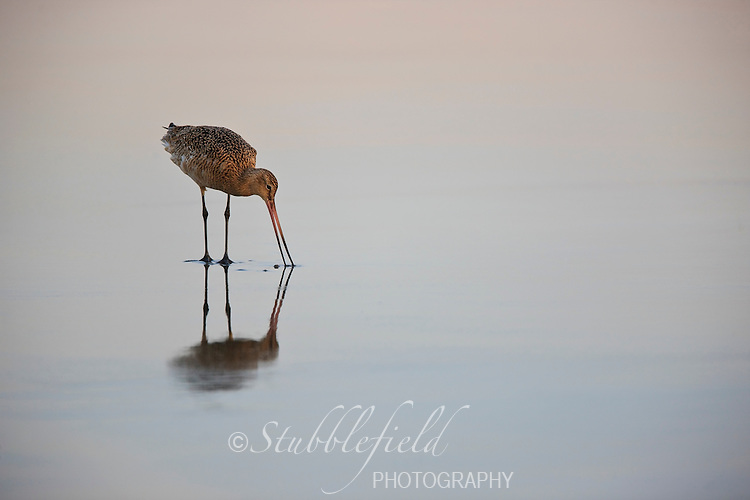 Marbled Godwit (Limosa fedoa beringiae), in breeding plumage feeding in surf at dawn.