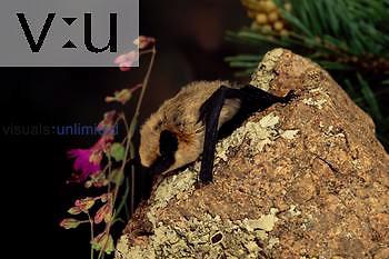 A Western Pipistrelle Bat (Pipistrellus hesperus) Burro Mountains, Southwest New Mexico, USA