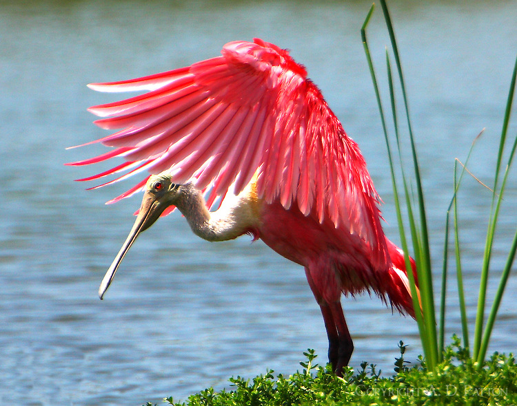 Adult roseate spoonbill bathing and flapping wings
