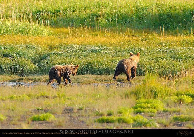 Alaskan Coastal Brown Bear Cubs at Sunset, Silver Salmon Creek, Lake Clark National Park, Alaska
