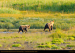 Alaskan Coastal Brown Bear Cubs at Sunset, Silver Salmon Creek, Lake Clark National Park, Alaska