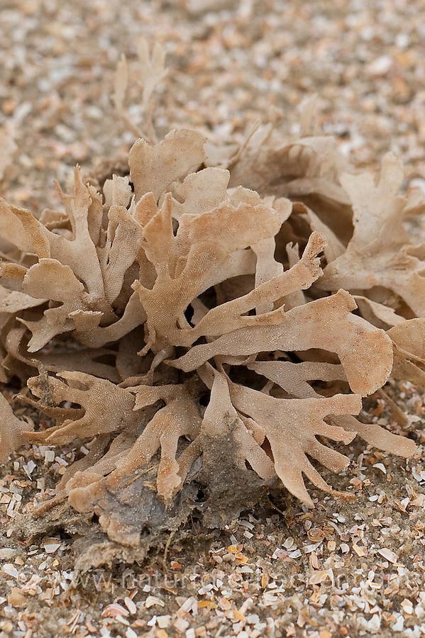 Blätter-Moostierchen, Blättermoostierchen, Moostierchen, abgerissene Kolonie am Strand, Spülsaum angespült, Flustra foliacea, broad-leaved Hornwrack