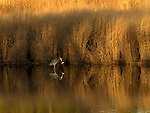 A great blue heron snares some dinner at Blackwater National Wildlife Refuge in winter.