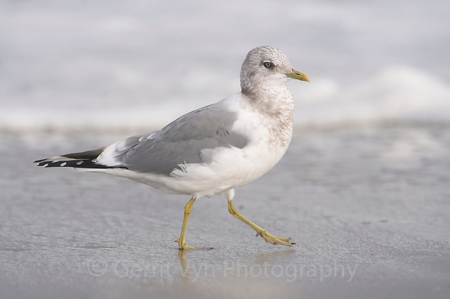 Adult Mew Gull (Larus canus) in basic (non-breeding) plumage. Monterey County, California. November.