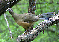 Adult plain chachalaca in tree