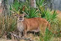 Florida Panther (Felis concolor), Florida, endangered species.