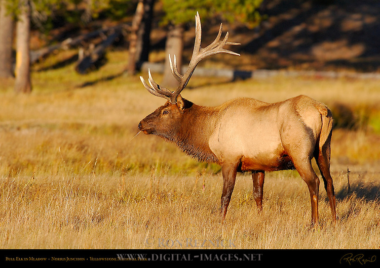 Bull Elk in Meadow, Norris Junction, Yellowstone National Park, Wyoming