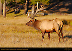 Bull Elk in Meadow, Norris Junction, Yellowstone National Park, Wyoming