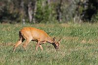 Europäisches Reh, Rehwild, Reh-Wild, Ricke, Weibchen, Capreolus capreolus, European roe deer, western roe deer, roe deer, Le chevreuil
