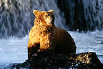 Brown bear at Brooks Falls, Katmai National Park, Alaska
