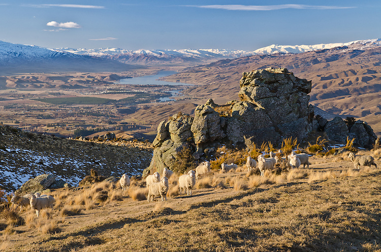 Merino sheep graze on the road to Duffers Saddle. Lake Dunstan, Cromwell and snow covered mountains in the background, Central Otago, South Island, New Zealand