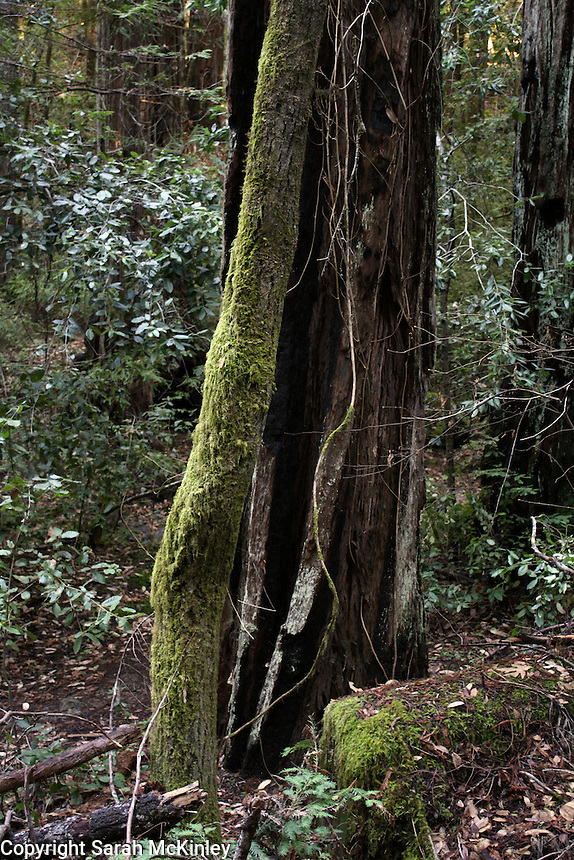 A thin, moss covered trunk stands in contrast with a thick charred tree trunk in Montgomery Woods above Ukiah in Mendocino County in Northern California.