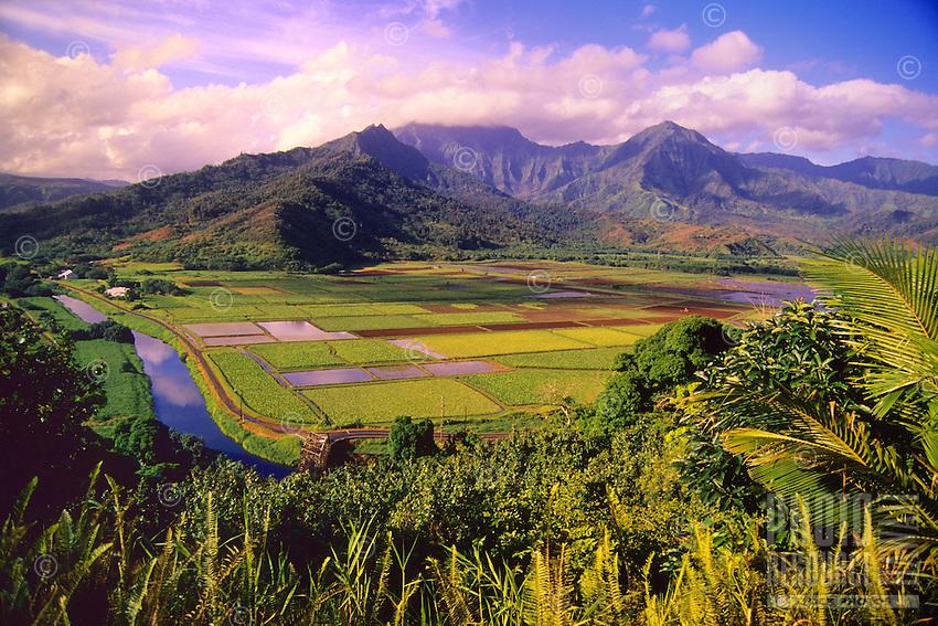 Taro fields in Hanalei Valley along the north shore of Kaua'i.