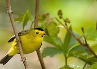 Male Wilson's Warbler (Wilsonia pusilla)