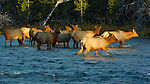 Female Elk Herd crossing Madison River at Sunset, Yellowstone National Park, Wyoming