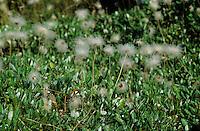 Silberwurz, Weiße Silberwurz, Fruchtstände, Mehrkronblättrige Silberwurz, Dryas octopetala, Dryas octopetala var. vestita, mountain avens, white dryas, white dryad