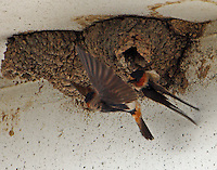 Pair of cliff swallows at nest under highway bridge