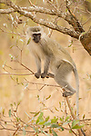 Vervet Monkey (Chlorocebus pygerythrus) female, Kruger National Park, South Africa