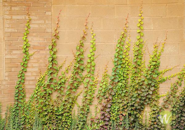 Vine on wall, Mulberry Street, Williamsport, PA.