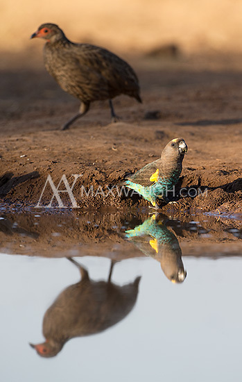 The Meyer's parrot may have been the most colorful visitor to the watering hole at Mashatu.
